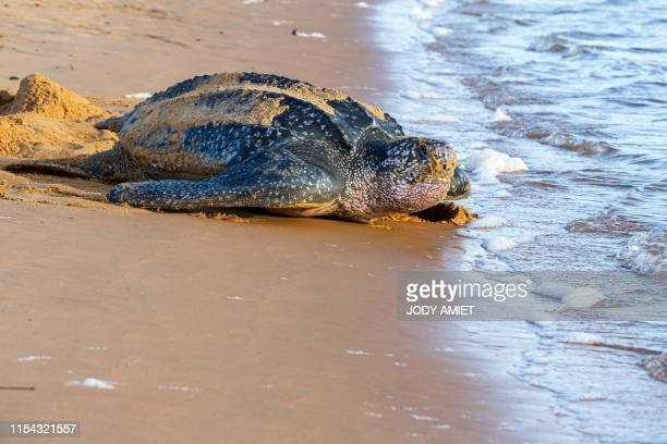 TOPSHOT This picture taken on July 4 2019 shows a leatherback sea turtle also known as the Luth turtle laying eggs under the supervision of Kwata...