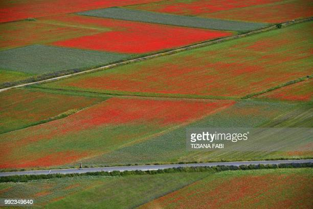 This picture taken on July 5 2018 shows blooming lentil fields and poppies flowers near Castelluccio a small village in central Italys Umbria region