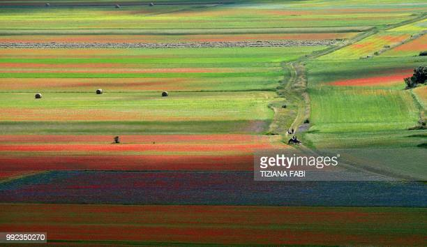 This picture taken on July 5, 2018 shows blooming lentil fields and poppies flowers near Castelluccio, a small village in central Italys Umbria...