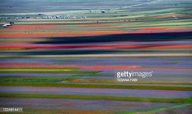 This picture taken on July 6, 2020 shows blooming lentil fields and poppies flowers near Castelluccio, a small village in central Italy's Umbria...
