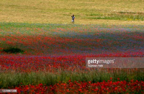 This picture taken on July 8, 2020 shows a photographer standing by is tripod in lentil fields and blooming poppy flowers near Castelluccio, a small...