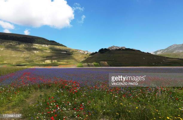 This picture taken on July 8, 2020 shows blooming lentil fields and poppy flowers near Castelluccio, a small village in central Italy's Umbria region.