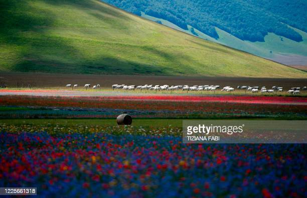 This picture taken on July 8, 2020 shows cows grazing near lentil fields and blooming poppy flowers near Castelluccio, a small village in central...