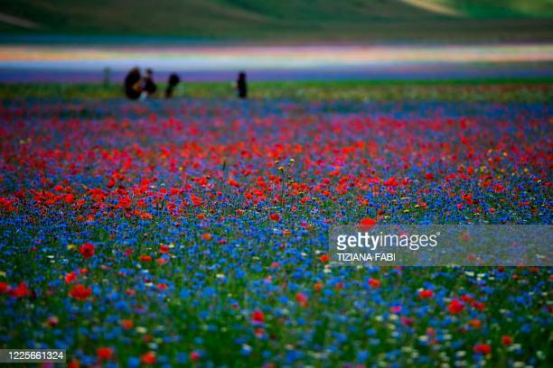 This picture taken on July 8, 2020 shows lentil fields and blooming poppy flowers near Castelluccio, a small village in central Italy's Umbria region.