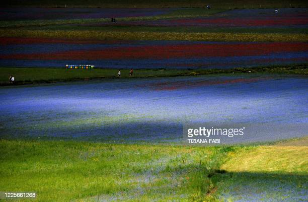This picture taken on July 8, 2020 shows people walking across blooming lentil fields and poppy flowers near Castelluccio, a small village in central...