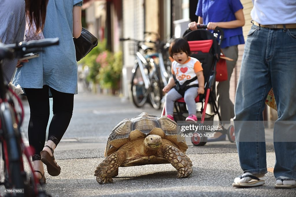 This picture taken on June 10, 2015 shows Bon-chan, a 19 year old male African spurred tortoise weighing about 70 kg (154 pounds), walking with his owner Hisao Mitani (R) on a street in the town of Tsukishima in Tokyo. Bon-chan loves fruit and vegetables and is often offered carrot and cabbage pieces by cheering neighbors when he is out.