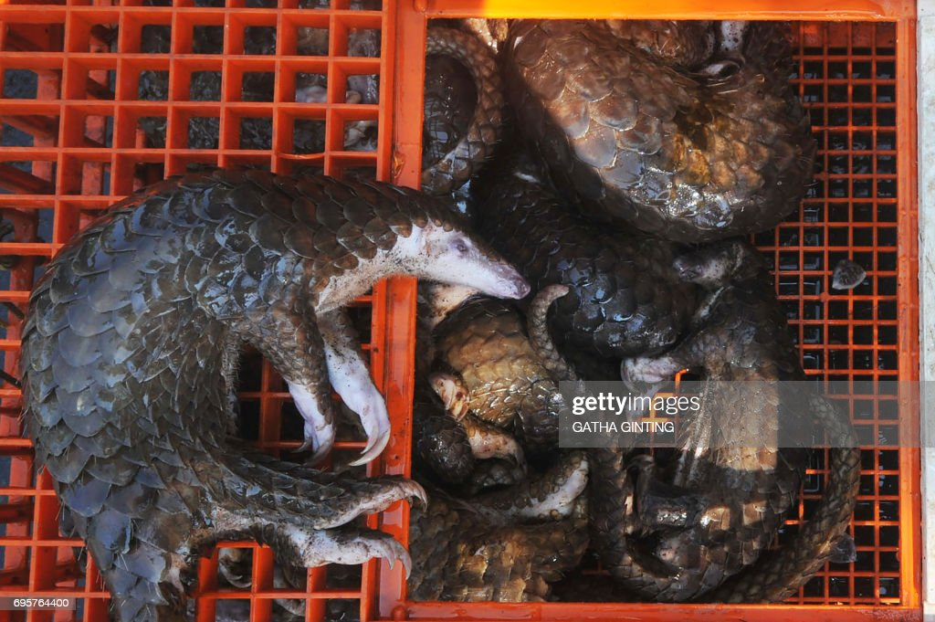 This picture taken on June 13, 2017 shows dead pangolins seized by authorities in Belawan, North Sumatra. Indonesian authorities have seized hundreds of critically endangered pangolins and scales in a haul worth 190,000 USD after uncovering a major smuggling operation, an official said on June 14. /