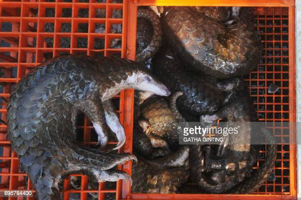 This picture taken on June 13 2017 shows dead pangolins seized by authorities in Belawan North Sumatra Indonesian authorities have seized hundreds of...