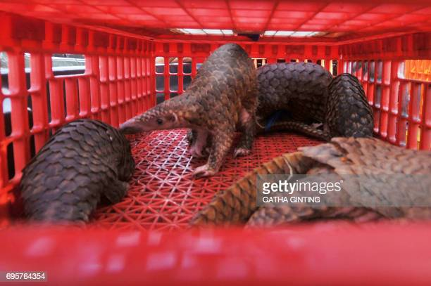 This picture taken on June 13 2017 shows live pangolins seized by authorities in an antismuggling raid in Belawan North Sumatra Indonesian...