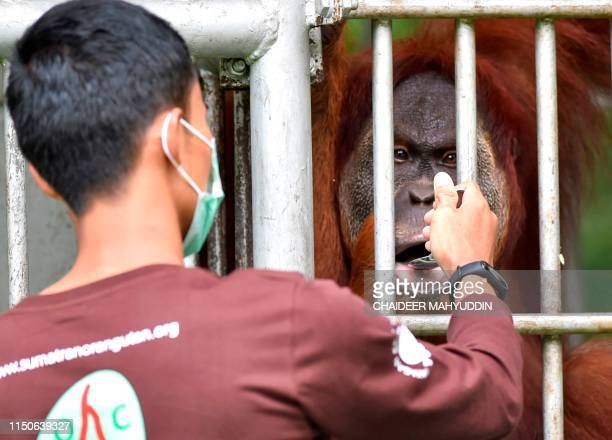 This picture taken on June 18 2019 shows a ranger feeding a young Sumatran orangutan named Elaine at the forest reserve in Jantho Fiveyearold Elaine...