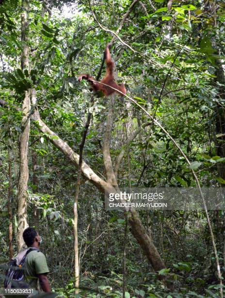 This picture taken on June 18 2019 shows a ranger keeping an eye on a young Sumatran orangutan named Elaine at the forest reserve in Jantho...