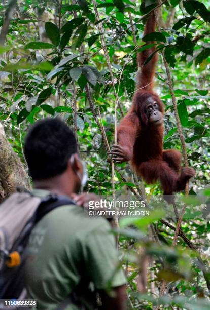 This picture taken on June 18 2019 shows a ranger watching a young Sumatran orangutan named Elaine at the forest reserve in Jantho Fiveyearold Elaine...
