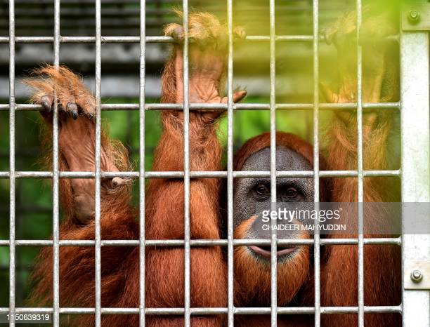 This picture taken on June 18 2019 shows a young Sumatran orangutan named Elaine in her cage at the forest reserve in Jantho Fiveyearold Elaine and...