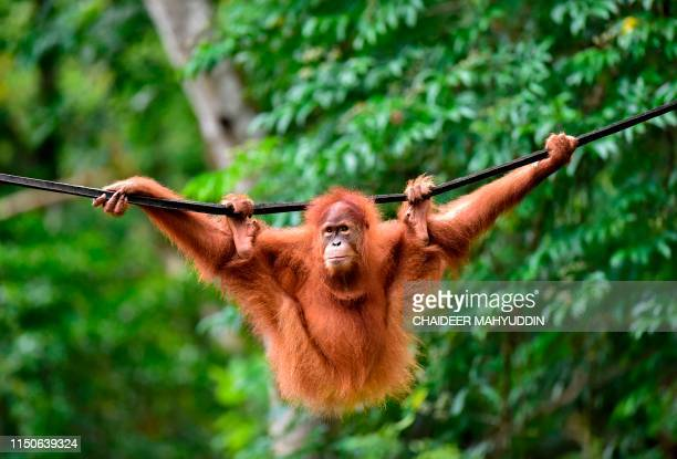 This picture taken on June 18 2019 shows a young Sumatran orangutan named Elaine swinging on a line at the forest reserve in Jantho Fiveyearold...