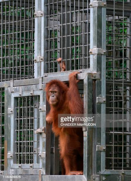 This picture taken on June 18 2019 shows a young Sumatran orangutan named Elaine leaving her cage at the forest reserve in Jantho Fiveyearold Elaine...