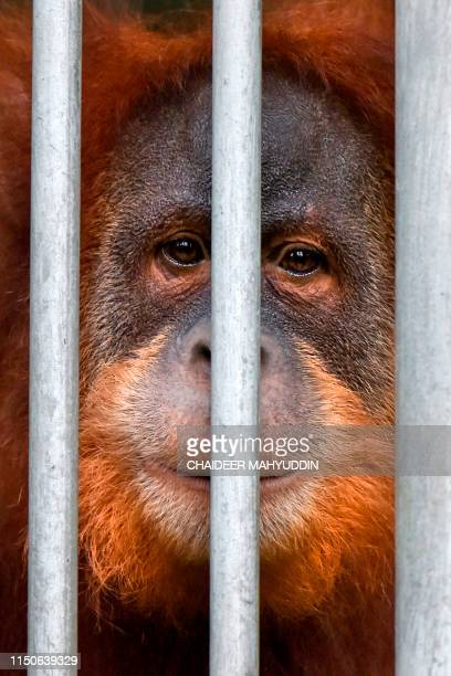 This picture taken on June 18 2019 shows a young Sumatran orangutan named Elaine looking out from a cage at the forest reserve in Jantho Fiveyearold...