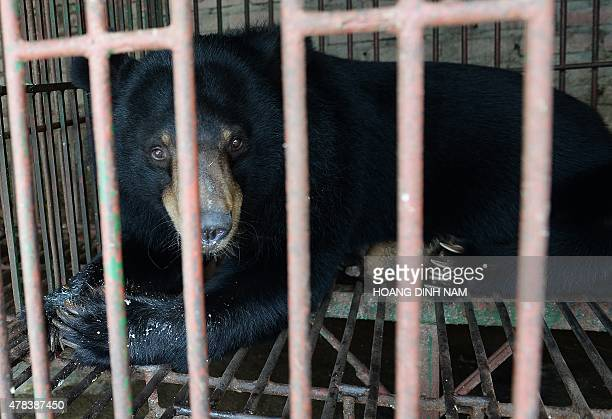 This picture taken on June 23, 2015 shows a captive moon bear inside a metal cage at a private bear farm which was targeted by animal protection...
