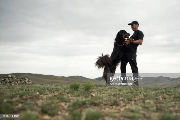 This picture taken on June 25 2017 shows Delgeriin Tserenkhand who breeds Mongolian bankhar a rare herder dog playing with a dog on the steppes on...