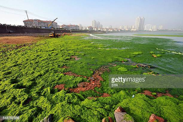 This picture taken on June 29 2016 shows an algaecovered beach in Qingdao east China's Shandong province The algal phenomenon an annual occurrence in...