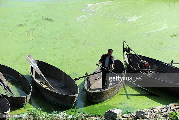 This picture taken on June 4 2013 shows a fisherman working on Chaohu Lake that is filled with cyanobacteria in Hefei central China's Anhui province...