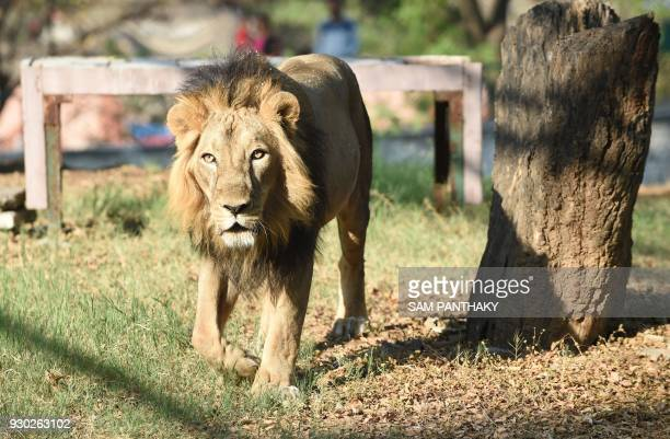 This picture taken on March 10 shows an Asiatic lion 'Amber' walking in his open enclosure at Kamla Nehru Zoological Garden in Ahmedabad Lions are...