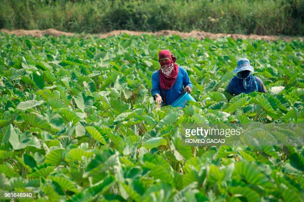 This picture taken on March 13 2018 shows Thai farmers applying fertilizer on a taro field in Suphan Buri province Thailand was ranked the world's...