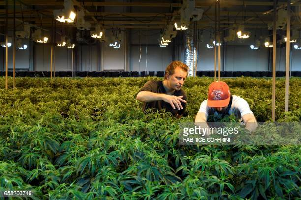 This picture taken on March 16 2017 shows cofounder of Switzerland's cannabis producer KannaSwiss Corso Serra di Cassano posing with an employee next...