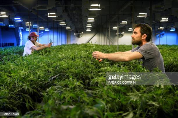 This picture taken on March 16 2017 shows employees collecting legal cannabis plants in the greenhouse of Switzerland's cannabis producer KannaSwiss...