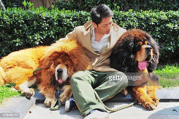 This picture taken on March 18 2014 shows an unidentified man posing for a photo with two Tibetan mastiffs after they were sold at a luxury pet fair...