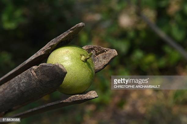 This picture taken on March 23 2016 shows lemon Thai farmer Laddawan Kamsong collected with a wooden tool at her plantation in Nonthaburi province...