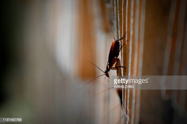 This picture taken on March 25, 2019 shows a cockroach at a roach farm in Yibin, China's southwestern Sichuan province. - As farmer Li Bingcai opened...