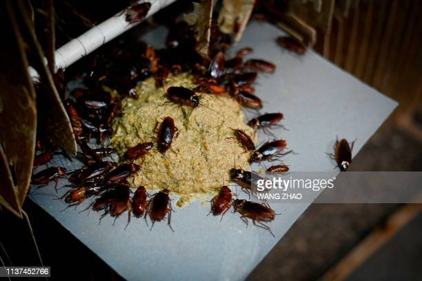 This picture taken on March 25 2019 shows cockroaches eating feed at a roach farm in Yibin China's southwestern Sichuan province As farmer Li Bingcai...