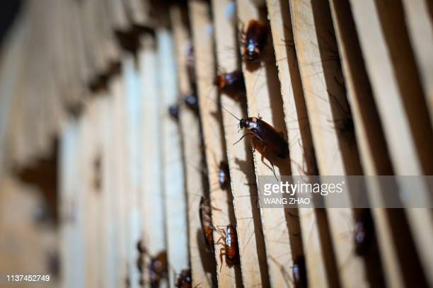 This picture taken on March 25 2019 shows roaches at a cockroach farm in Yibin China's southwestern Sichuan province As farmer Li Bingcai opened the...