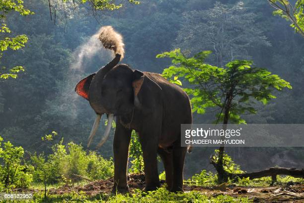 This picture taken on March 26, 2017 shows a captive Sumatran elephant before it goes on a patrol with Indonesian forest rangers in Aceh Jaya, Aceh...