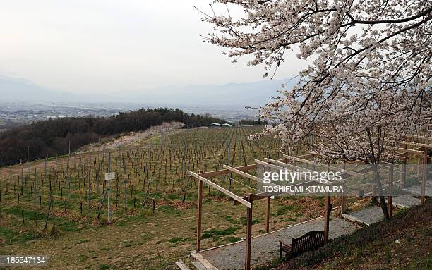 This picture taken on March 27, 2013 shows the chardonnay vineyard of Santory's Tomi-no-oka winery in Kai city, Yamanashi prefecture as part of a...