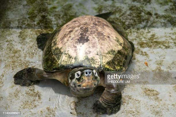 This picture taken on March 29 2019 shows a snapping turtle in its pen at the Live Turtle and Tortoise Museum in Singapore Hundreds of turtles and...