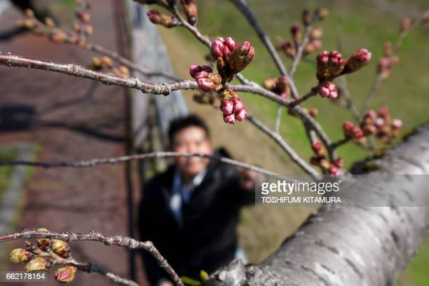 This picture taken on March 30 2017 shows Mito Local Meteorological Observatory officer Hisato Nishii checking the bloom of a cherry blossom tree in...