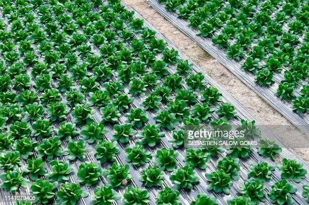 This picture taken on March 7 shows lettuce crops inside Gwenael Le Floc'h's greenhouse in MauredeBretagne western France Gwenael Le Floc'h head of a...
