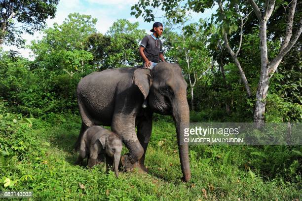 This picture taken on May 10 2017 shows a baby Sumatran elephant walking with a mahout riding on her mother at the Trumon Conservation Response Unit...
