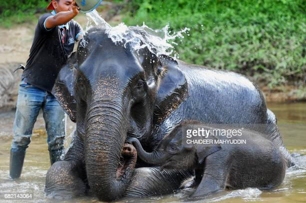 This picture taken on May 10 2017 shows a baby Sumatran elephant getting a bath with her mother at the Trumon Conservation Response Unit in the...