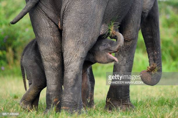 This picture taken on May 10 2017 shows a baby Sumatran elephant playing with her mother at the Trumon Conservation Response Unit in the Leuser...