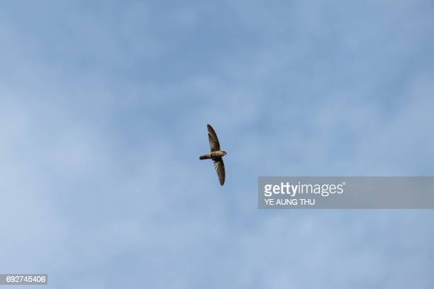This picture taken on May 15 2017 shows a swiftlet flying in Bokpyin township Tanintharyi Region in southeastern Myanmar The cries of amorous...