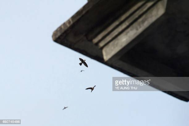 This picture taken on May 15 2017 shows swiftlets flying in Bokpyin township Tanintharyi Region in southeastern Myanmar The cries of amorous...