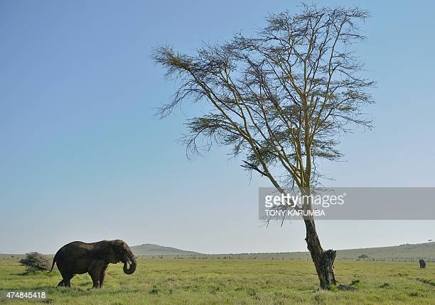 This picture taken on May 21 2015 shows an elephant at the Lewa Wildlife Conservancy at the foot of Mount Kenya approximately 300 km north of the...