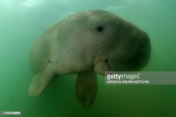 This picture taken on May 23 2019 shows Mariam the dugong as she swims in the waters around Libong island Trang province in southern Thailand An...