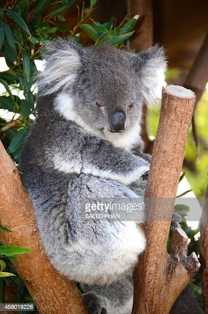 This picture taken on May 27 2014 shows a Koala sitting on a branch at a zoo in western Sydney Australian scientists said on October 29 they had...