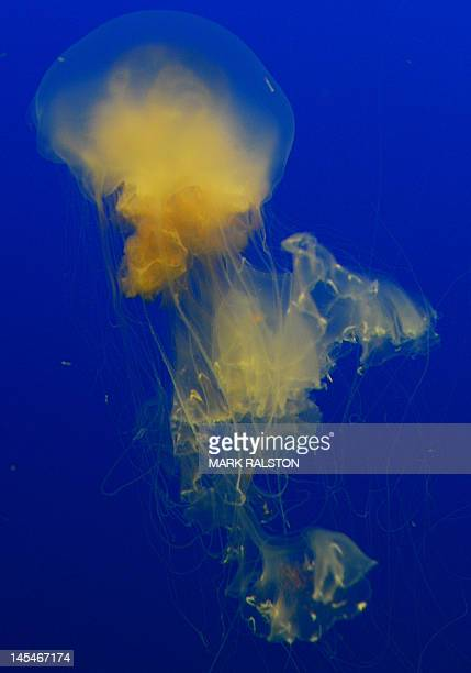 This picture taken on May 30 2012 shows egg yolk jellyfish at the Beijing Aquarium The aquarium which is the largest in China and shaped like a huge...