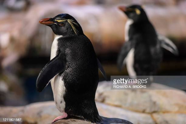 This picture taken on May 4, 2020 shows rockhopper penguins in their enclosure at the Ocean Park theme park, which is currently closed due to the...