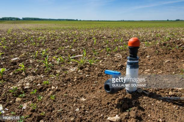 This picture taken on May 5 2014 shows a drip irrigation system on a cornfield in PasdeJeu Drip irrigation was invented in Israel in the 1960s' AFP...