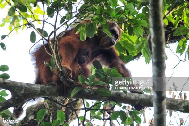 This picture taken on May 7 2017 shows an orangutan and her baby making their way through the Leuser ecosystem rainforest located mostly within the...